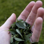 A fűszernövények közül válassza Ön is az oregánót!